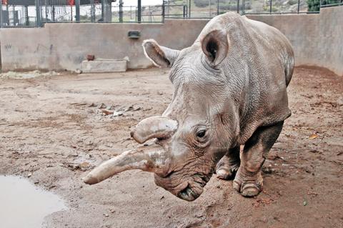 CALIFORNIA: File photo shows Nola, a northern white rhinoceros, in her enclosure at the San Diego Zoo Safari Park in Escondido, Calif. — AP